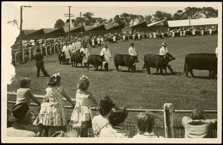 Thumbnail Image of Bull parade, Canterbury Agricultural and Pastoral Show