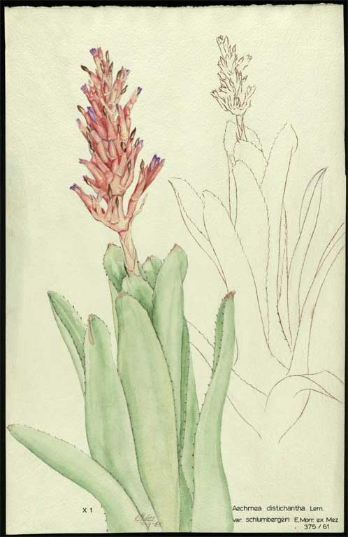Image of Aechmea distichantha var. schlumbergeri