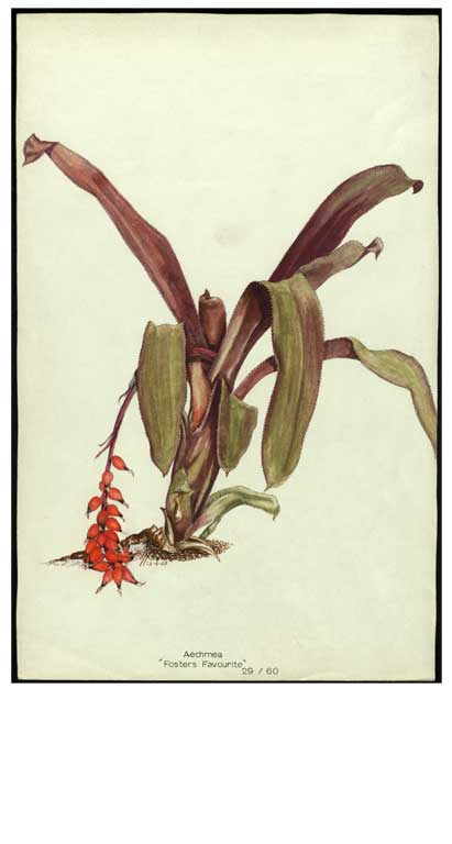 Image of Aechmea 'Foster's Favourite'