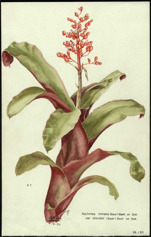 Image of Aechmea miniata var. discolor