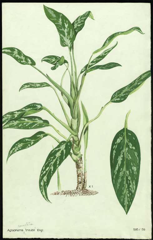 Image of Aglaonema commutatum 'Treubii'