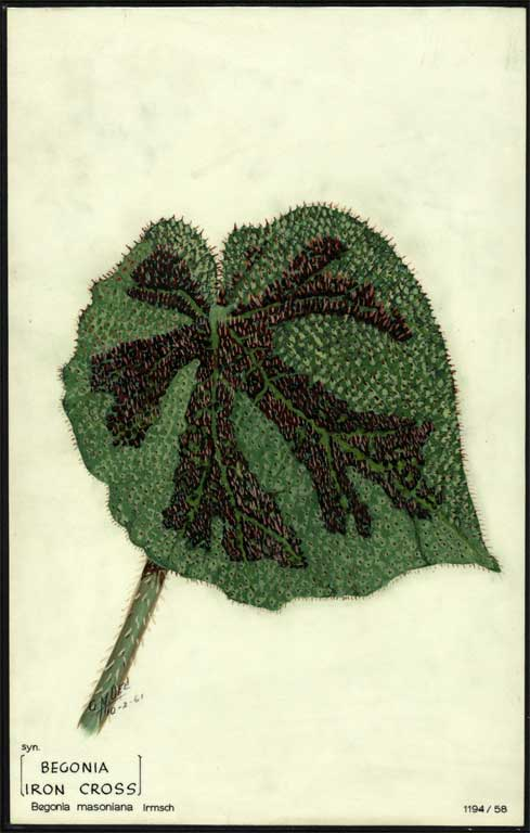 Image of Begonia masoniana (b. Iron Cross)