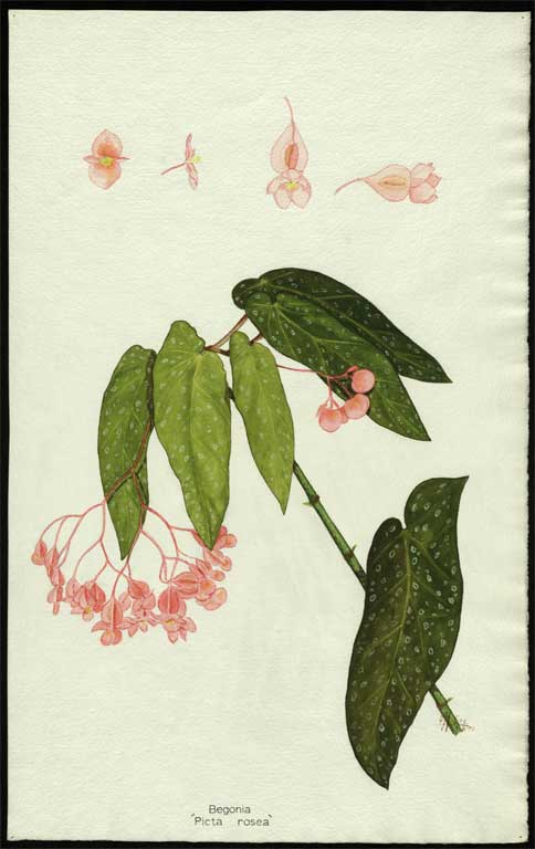 Image of Begonia picta - rosea