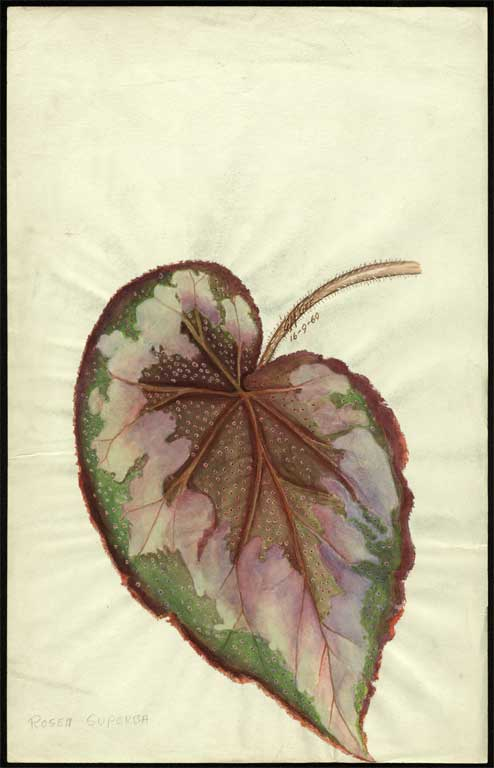Image of Begonia 'Rosea - Superba'