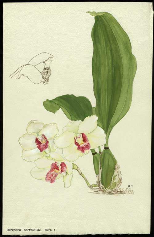 Image of Bifrenaria harrisoniae