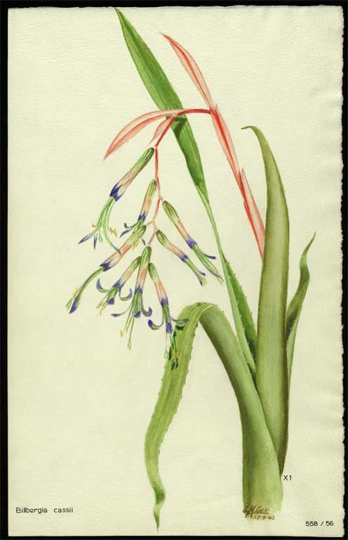 Image of Billbergia cassii