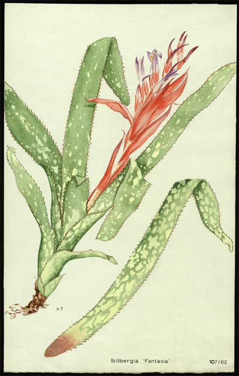 Image of Billbergia 'Fantasia'