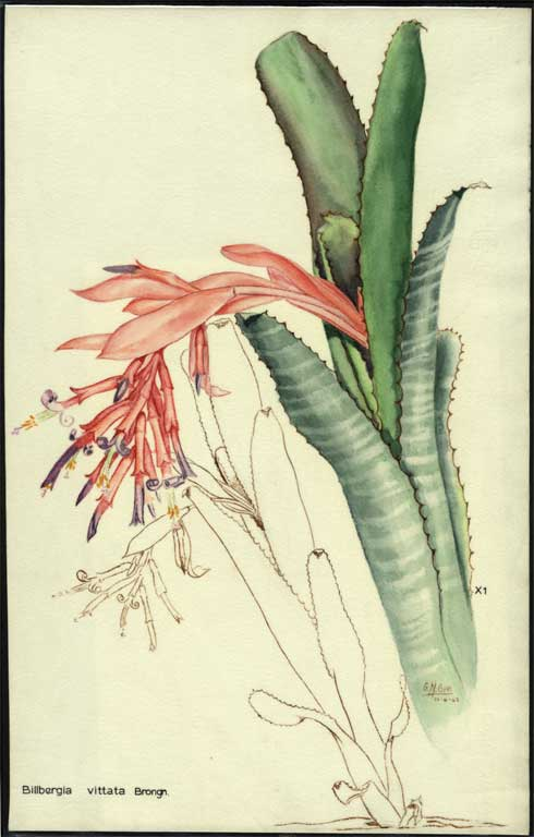 Image of Billbergia vittata