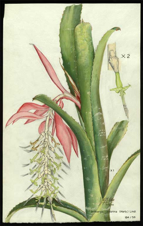Image of Billbergia zebrina