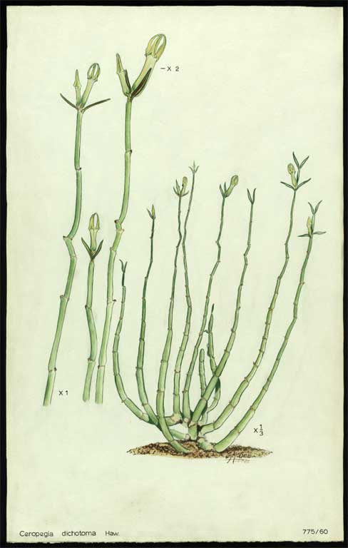 Image of Ceropegia dichotoma