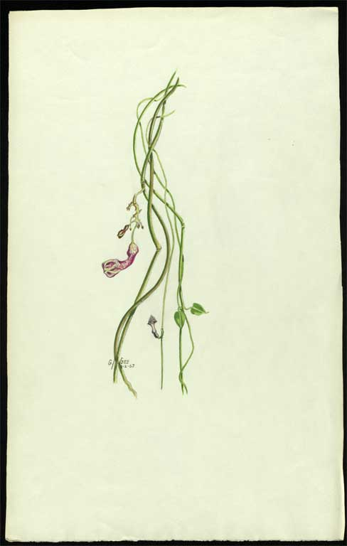 Image of Ceropegia dilatiloba