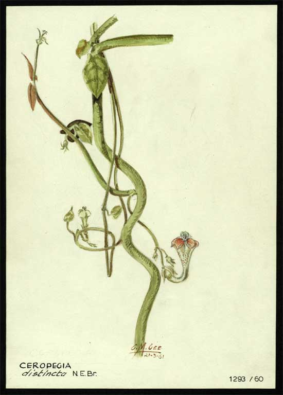 Image of Ceropegia distincta