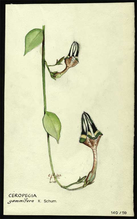 Image of Ceropegia gemmifera