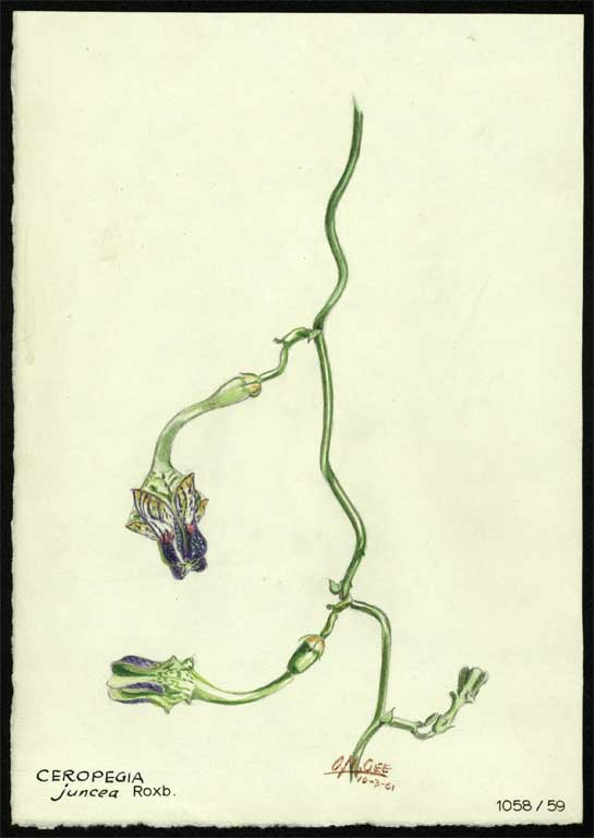 Image of Ceropegia juncea