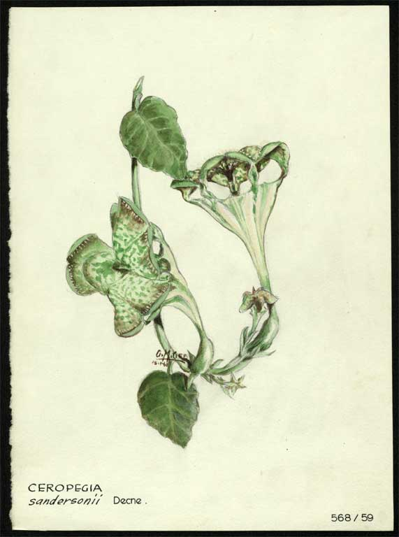 Image of Ceropegia sandersonii