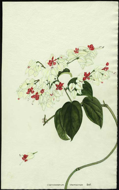 Image of Clerodendrum thomsonae