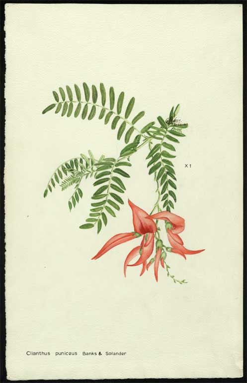 Image of Clianthus puniceus