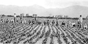 Weeders at work on Mr W Roberts' chicory farm at Speydon