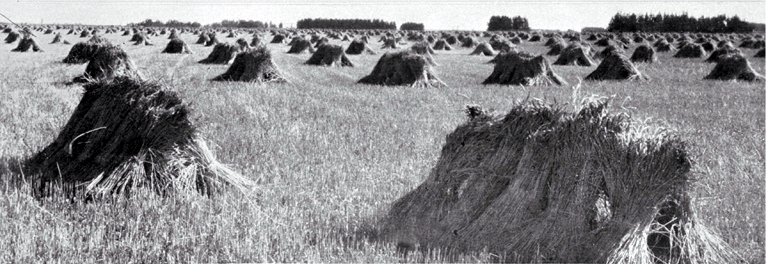 Sheaves of wheat stooked (stacked to dry before threshing)