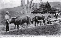 A bullock team used to sleigh fencing material, Banks Peninsula [1890?]