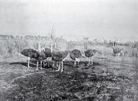 Ostrich farm, near Christchurch [ca. 1921]