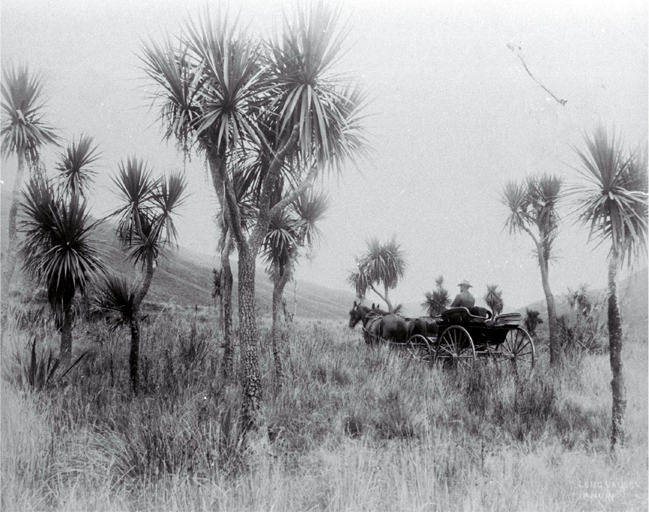A horse & buggy travel through cabbage trees in Long Valley, North Canterbury