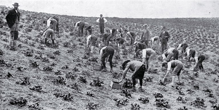 Strawberry growing near Waimate, South Canterbury : the pickers at work.