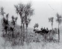 A horse & buggy travel through cabbage trees in Long Valley, North Canterbury [ca. 1880]