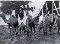 Camels which have been imported for Wonderland
