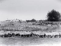 A sheep fair, saleyards [ca. 1900]