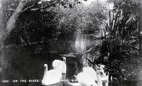Swans on the river Avon, Christchurch [ca. 1910]
