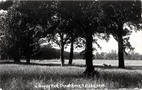 Sheep grazing in Hagley Park, Christchurch [1910]
