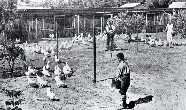 Poultry raising and egg production in Canterbury : pens of pullets at Fazackerley's poultry farm, Sockburn, Christchurch.