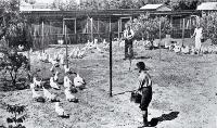 Poultry raising and egg production in Canterbury : pens of pullets at Fazackerley's poultry farm, Sockburn, Christchurch. [1926]