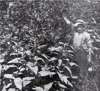 R Ashby, Cobham Street, Spreydon, Christchurch, standing among the tobacco plants grown in his back yard