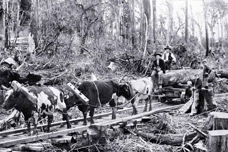 Workmen driving a team of bullocks with logs for construction of the North Island trunk railway