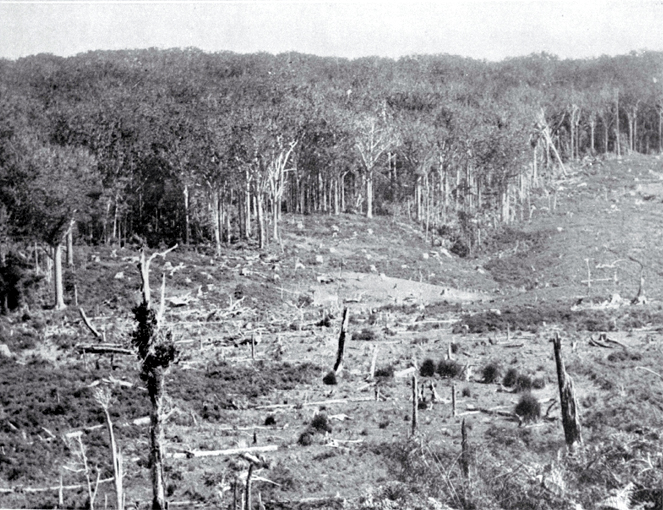 The face of a kauri forest, showing sheep grazing on the clear-felled area in the foreground