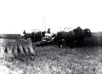 Reaping and binding wheat on the Moderate farm, Bennetts district, Canterbury [between 1901 and 1905]