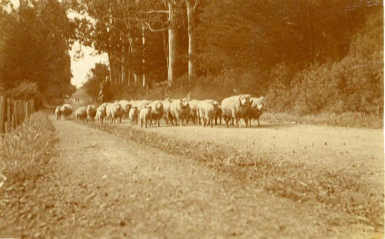 Sheep, Bridle Path Road - on the way to the Mount Pleasant shearing sheds