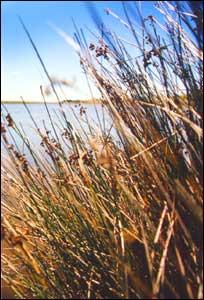 The reedy lake edge of Te Waihora