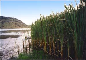 Raupo reeds alongside Wairewa
