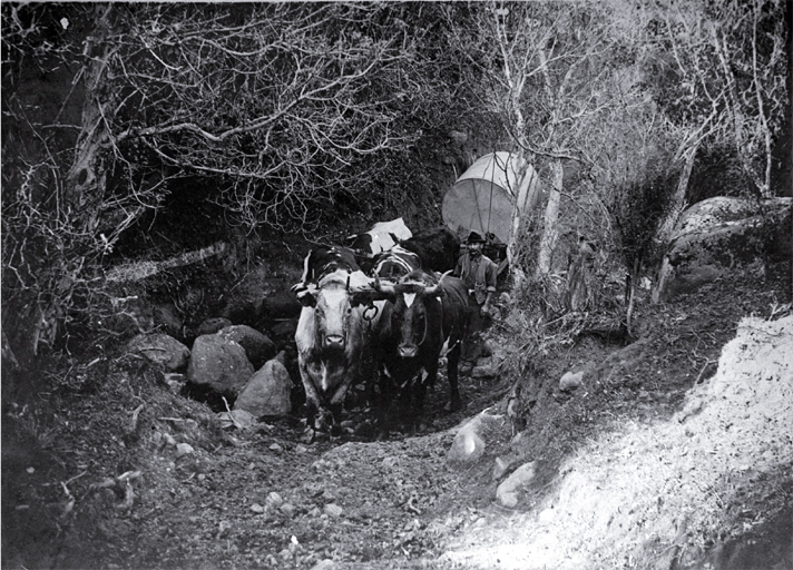 Parkinson's bullock team carting a tank to the Sign of the Packhorse, situated on Kaituna Saddle, Port Hills, Christchurch